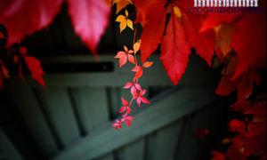 Рай своими руками: вьющиеся растения для забора на участке