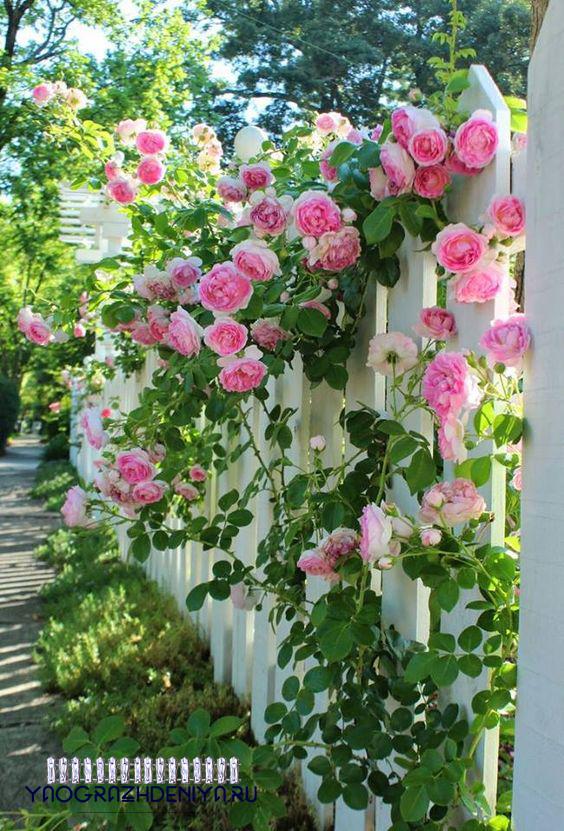 плетистые розы для забора