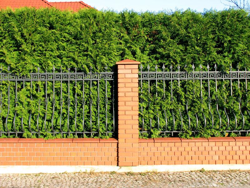 Забор из можжевельника